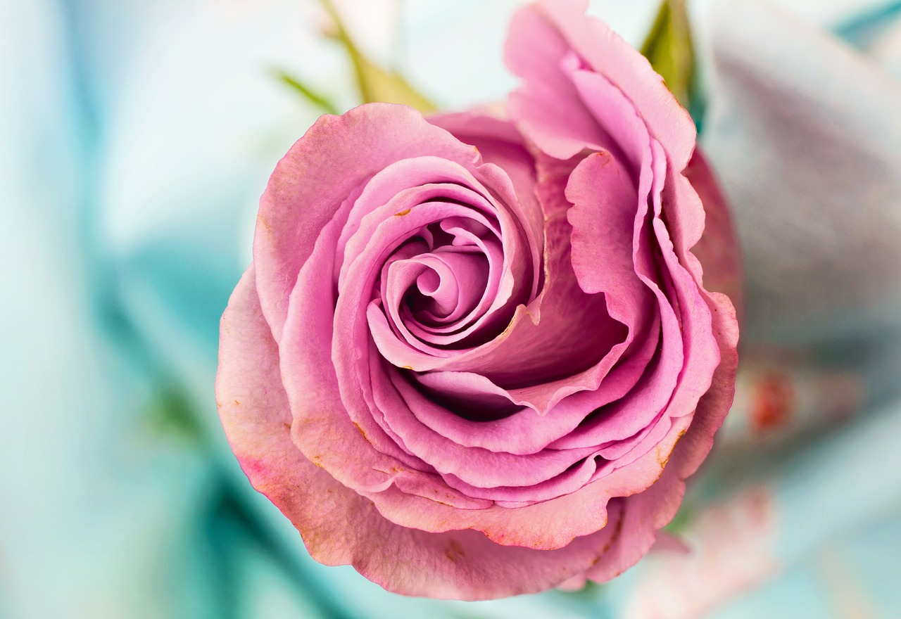 rose-3142529_1280.jpg