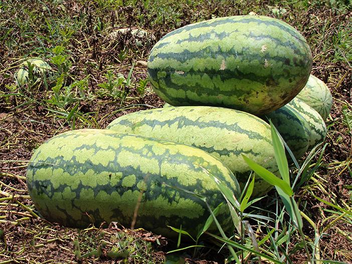 SquarespaceImage19-Watermelon01.jpg