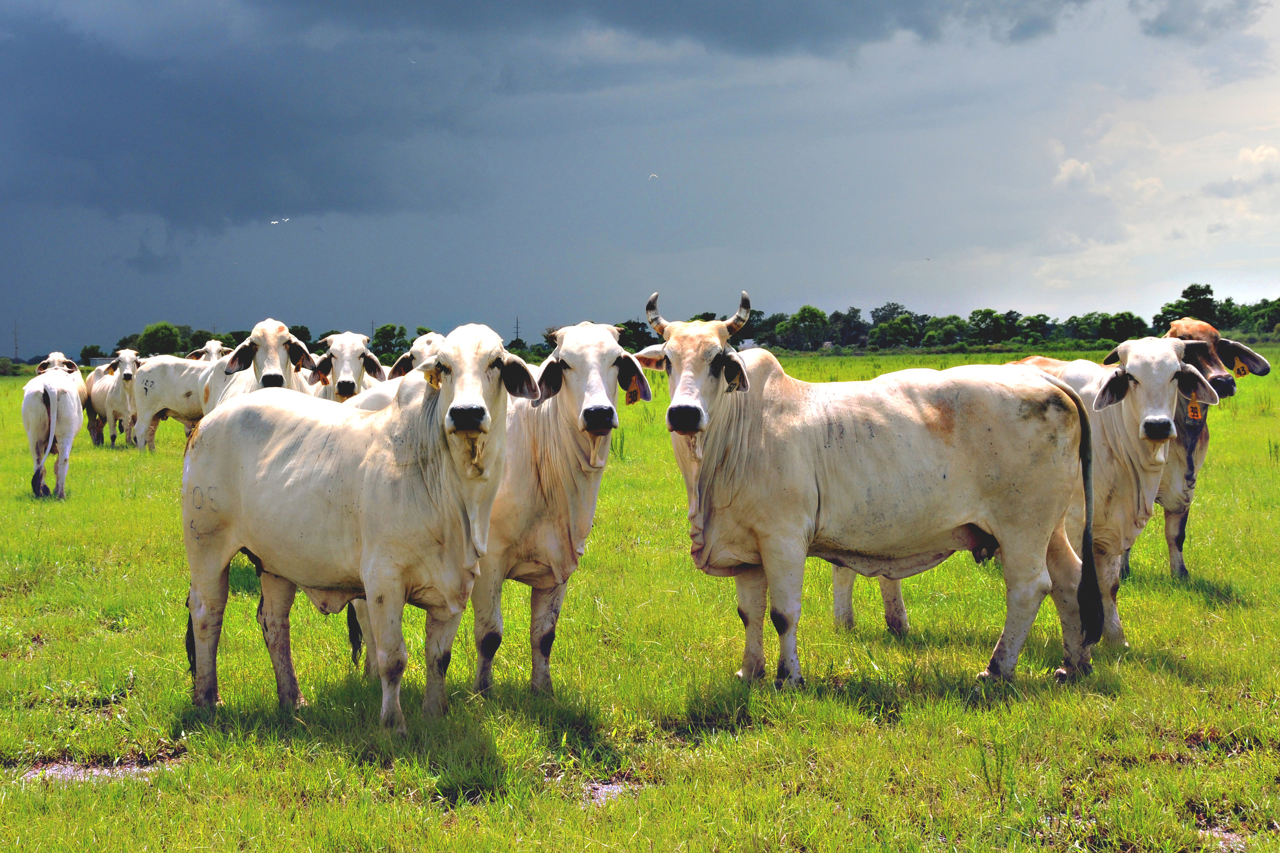 SquarespaceImage19-Cattle_Brahman.jpg