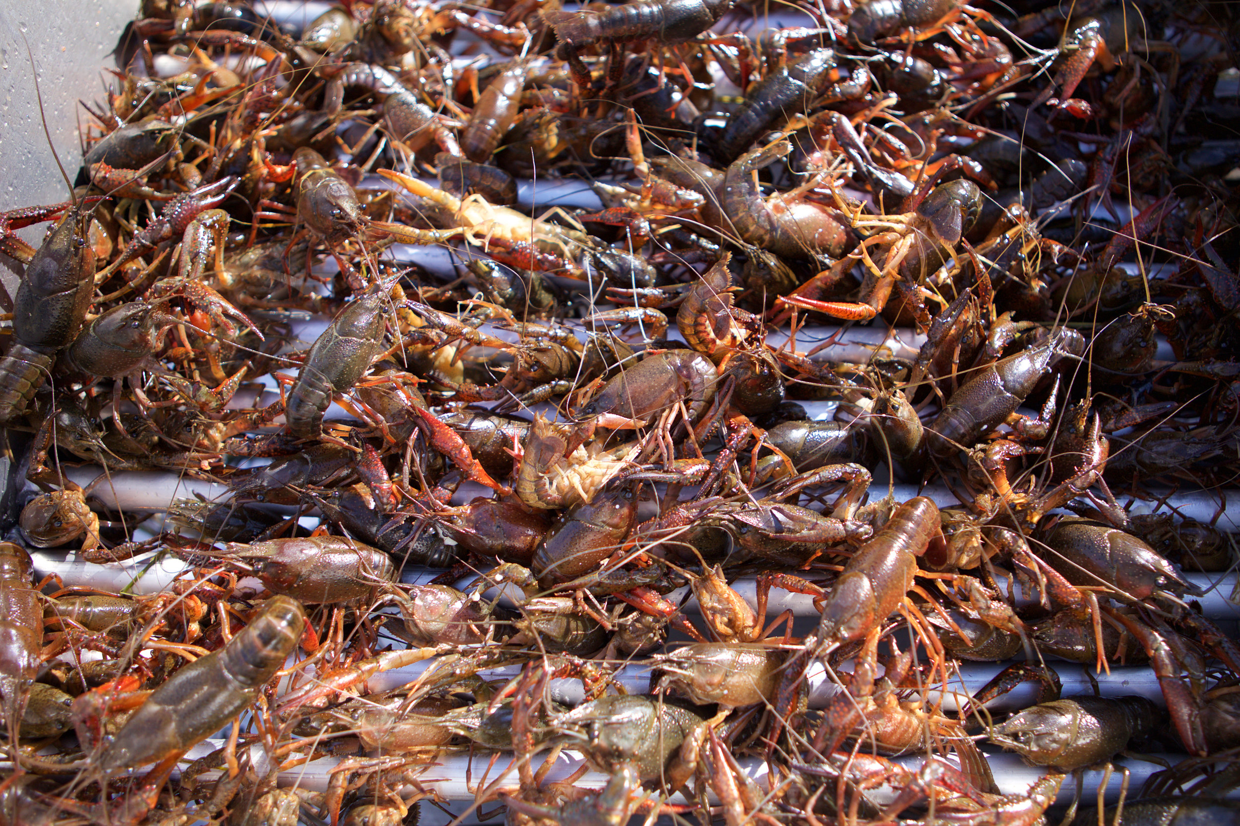 SquarespaceImage19-Crawfish-redwhitecrawfish.jpg