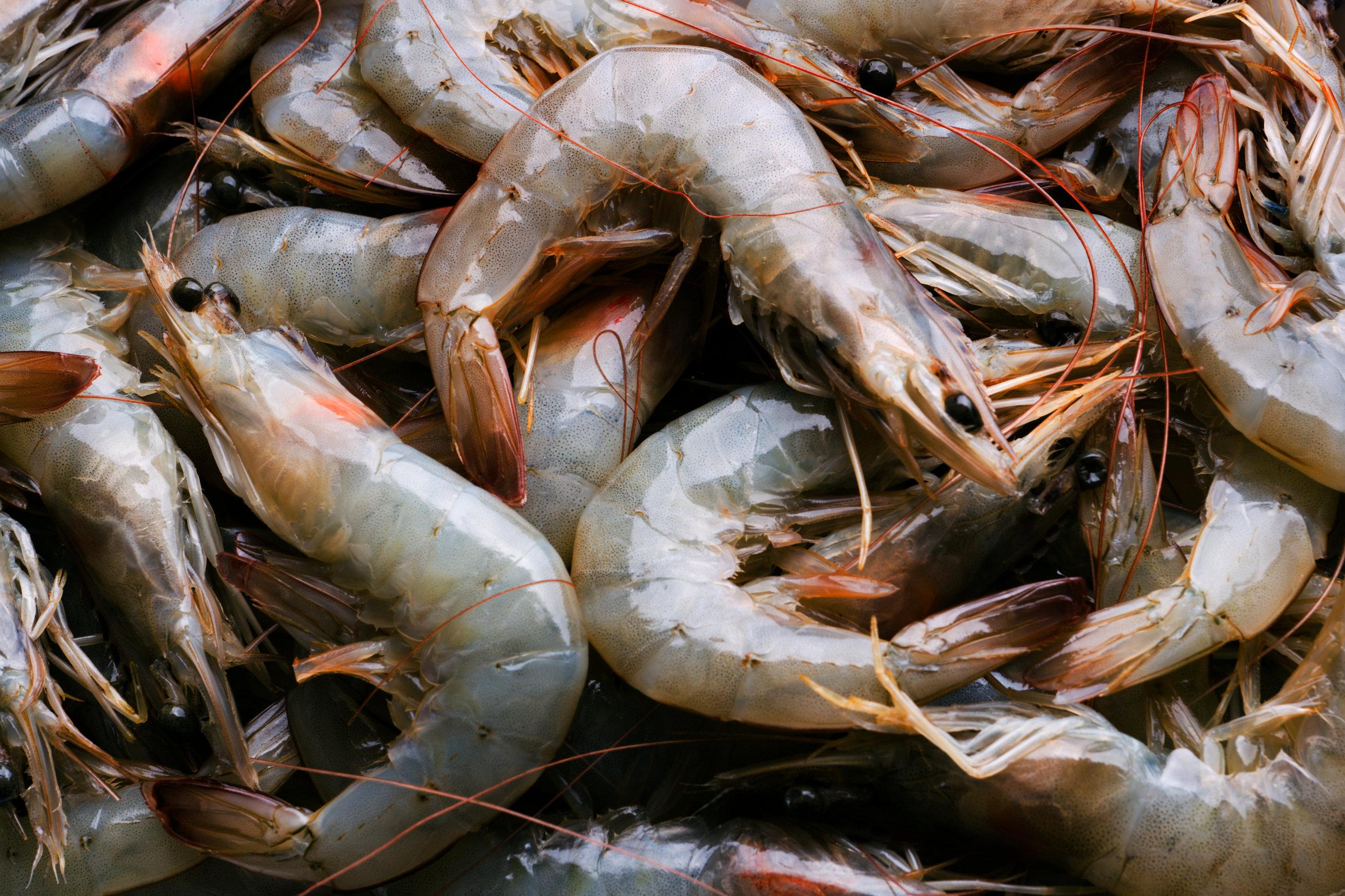 SquarespaceImage19-marinefisheries-shrimp.jpg