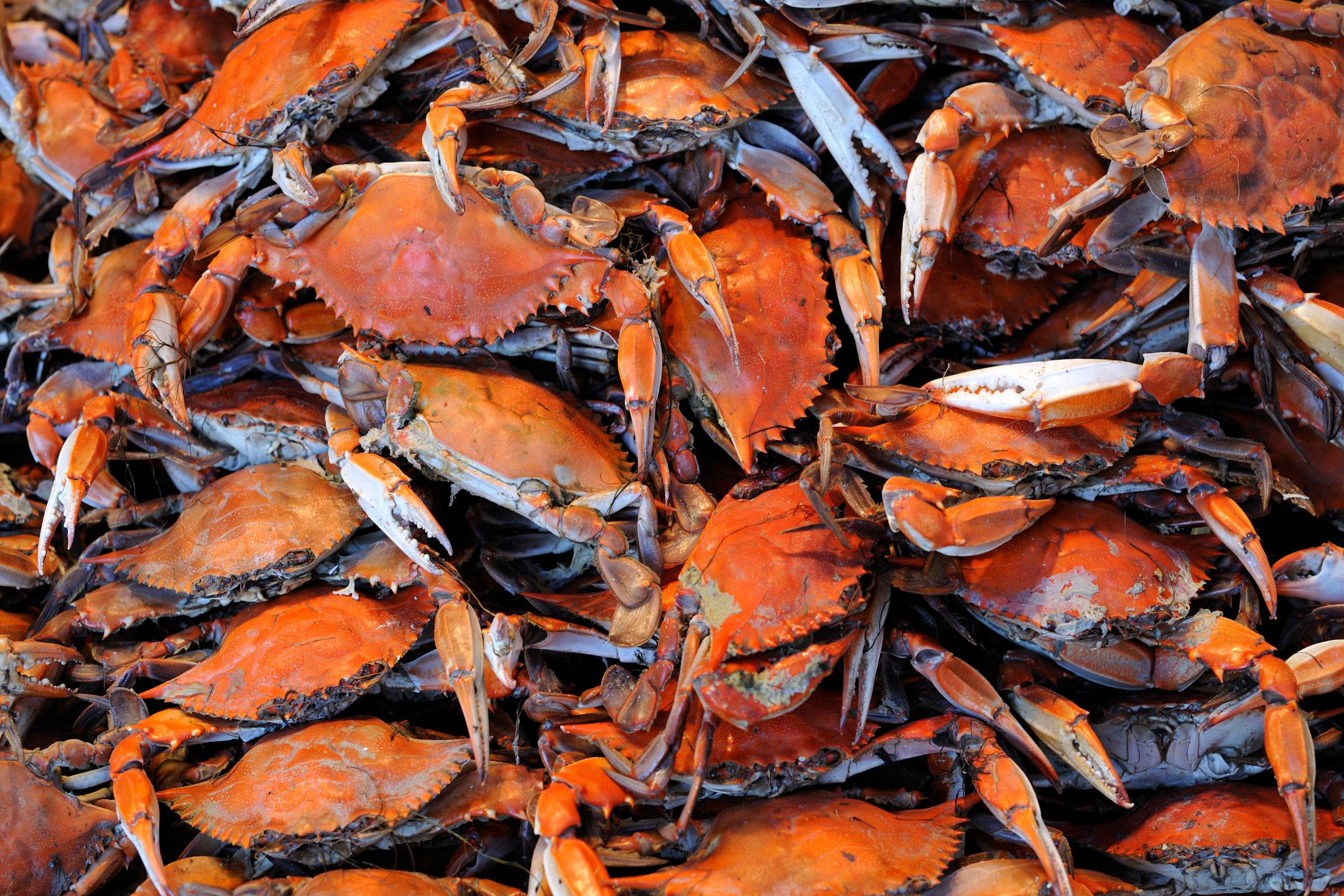 SquarespaceImage19-marinefisheries-crabs.jpg