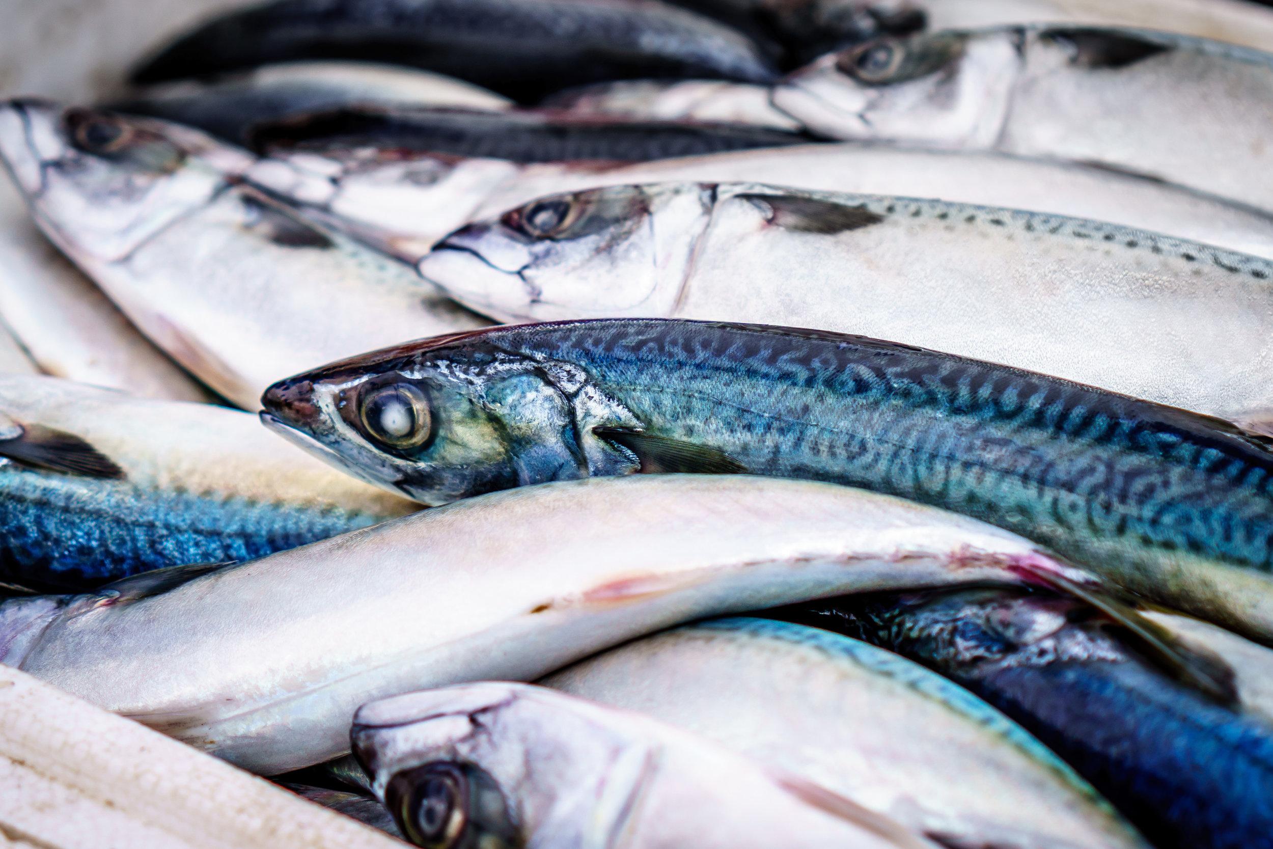 SquarespaceImage19-marinefisheries-menhaden.jpg