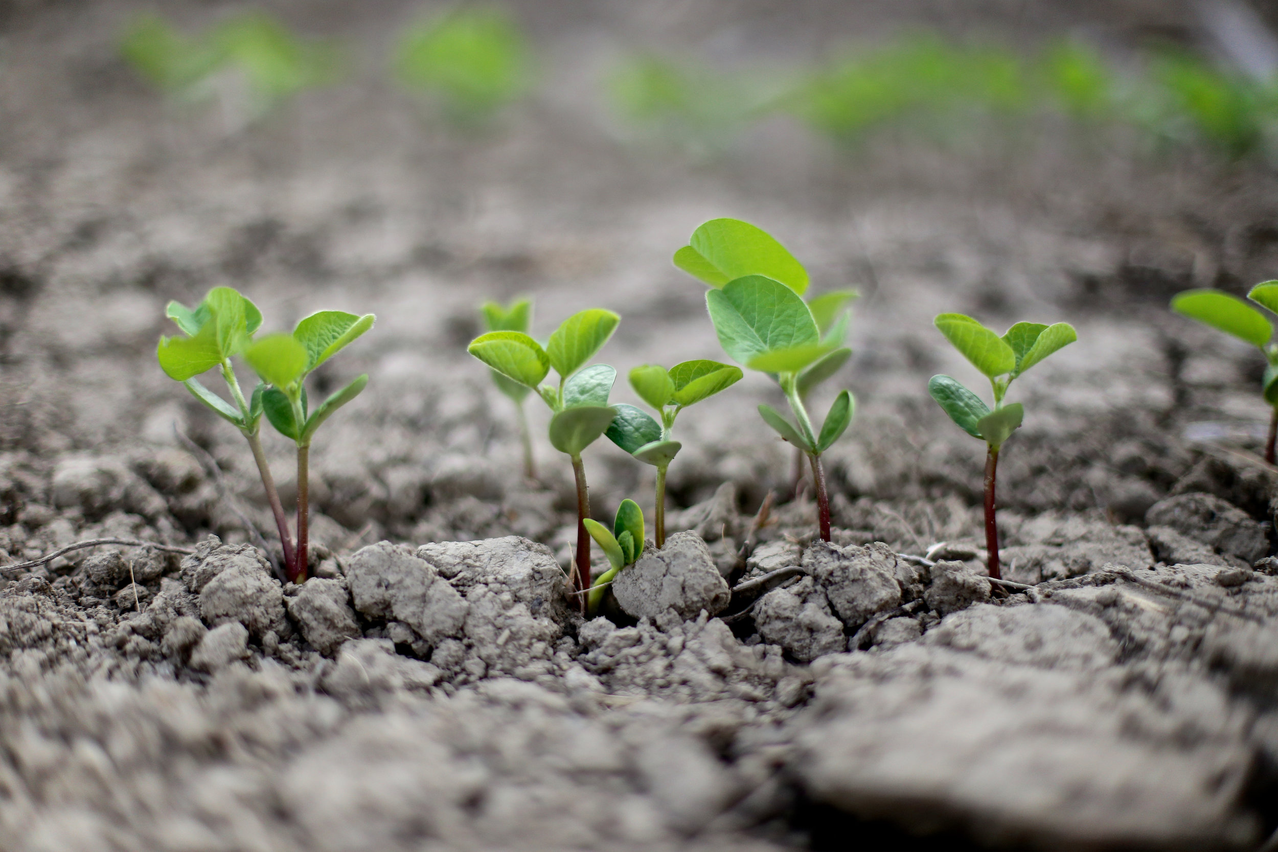SquarespaceImage19-soybeans-sprouting.jpg