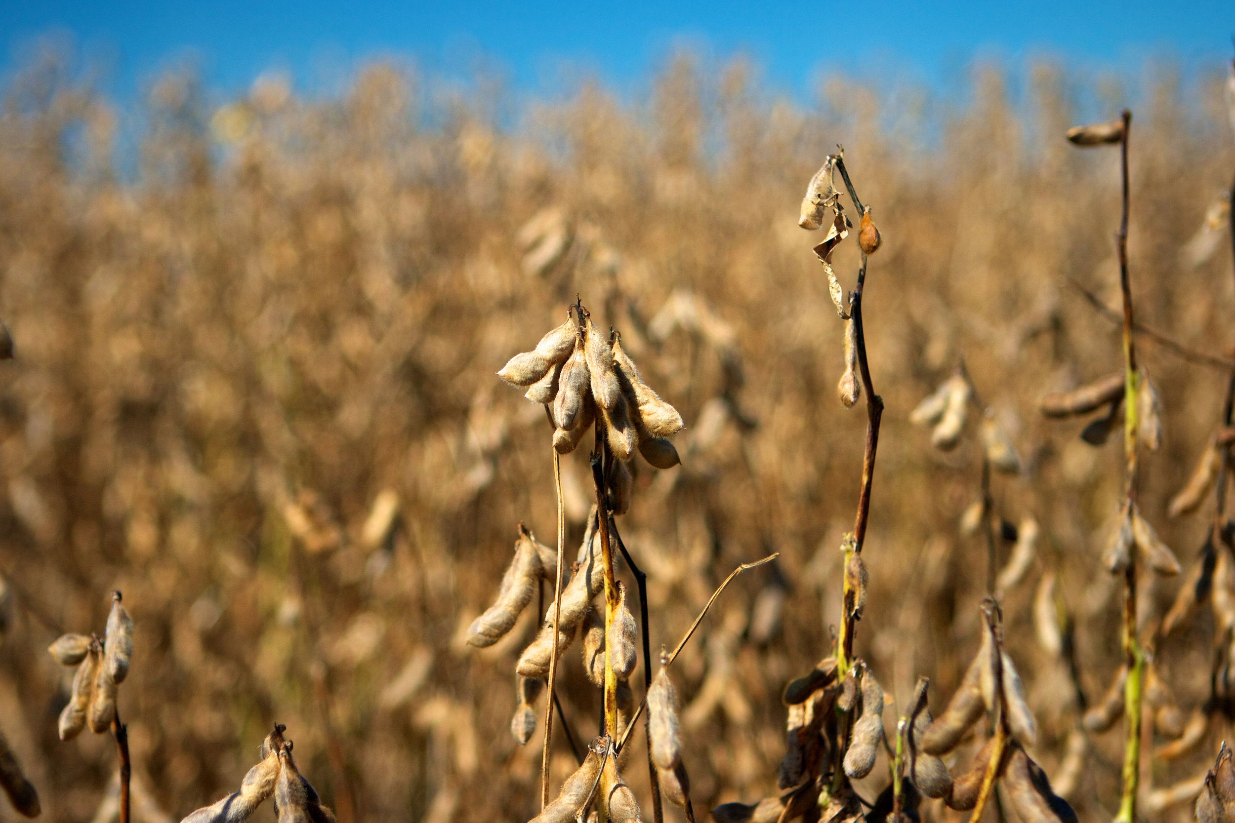 SquarespaceImage19-soybeans-readyforharvest.jpg