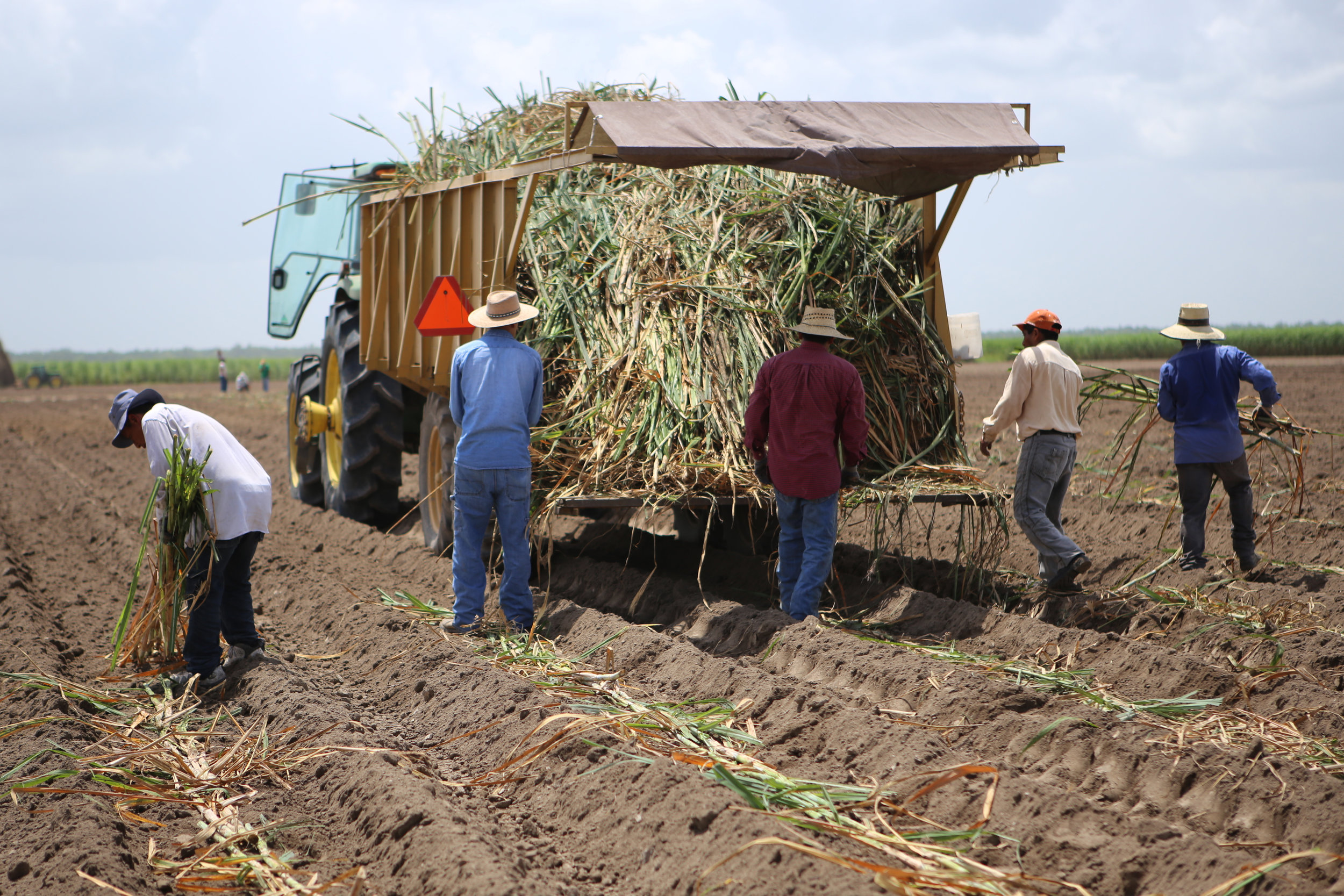 SquarespaceImage19-sugarcane-planting.jpg