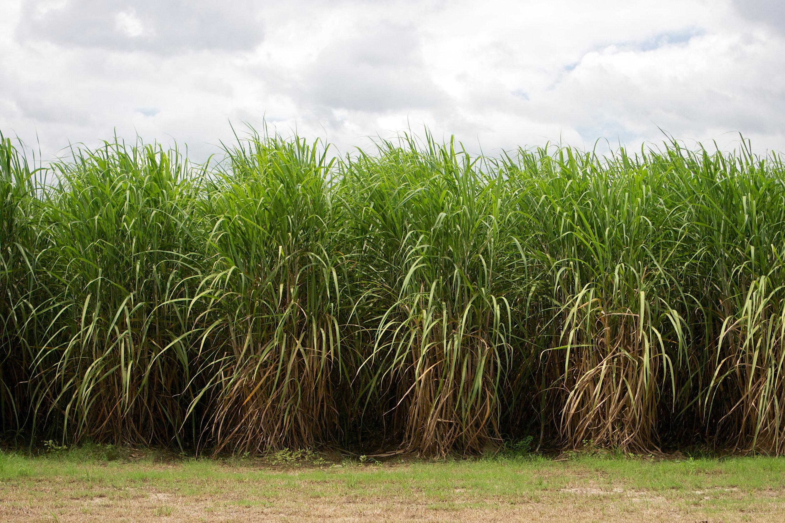 SquarespaceImage19-sugarcane-maturecane.jpg
