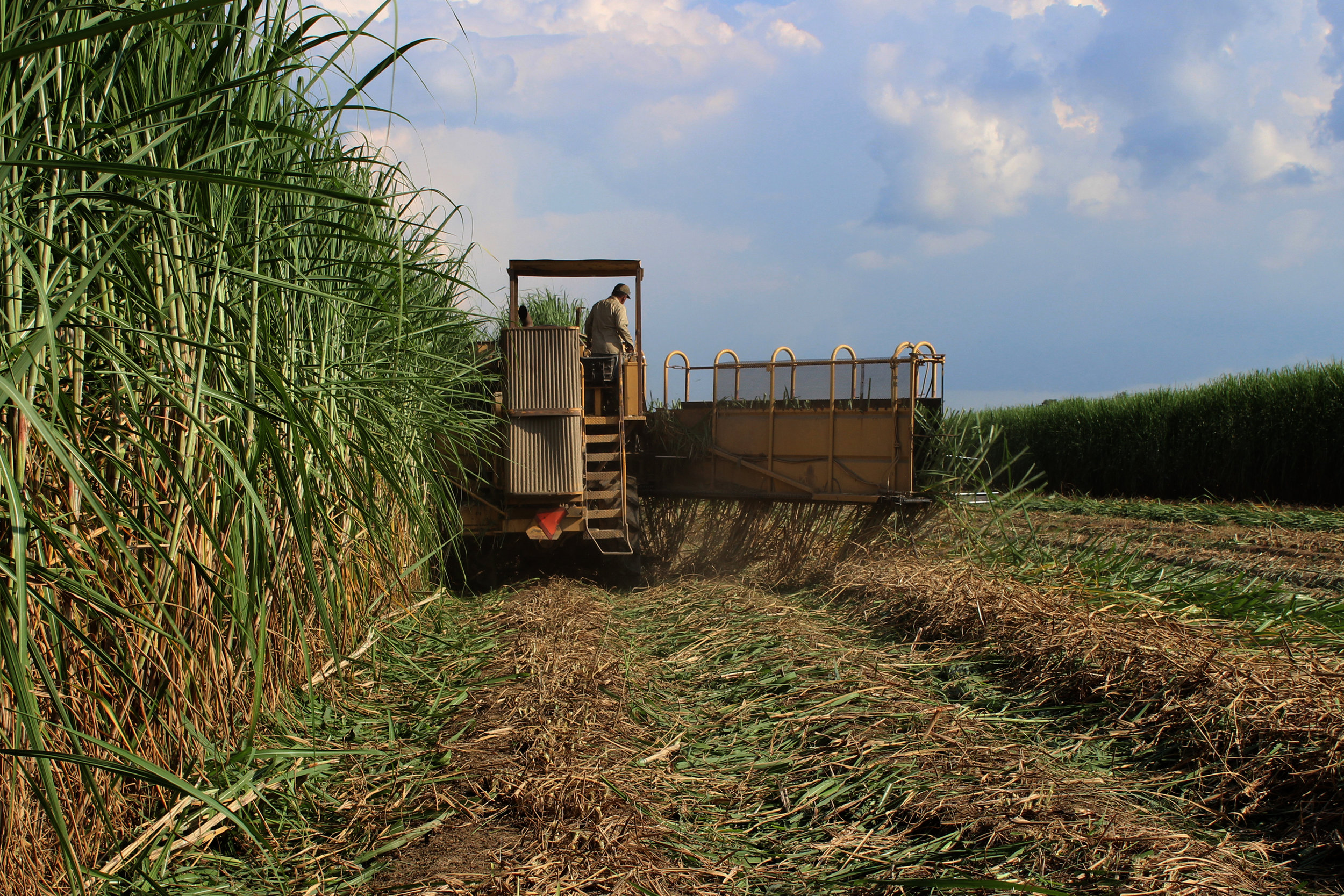SquarespaceImage19-sugarcane-harvest.jpg
