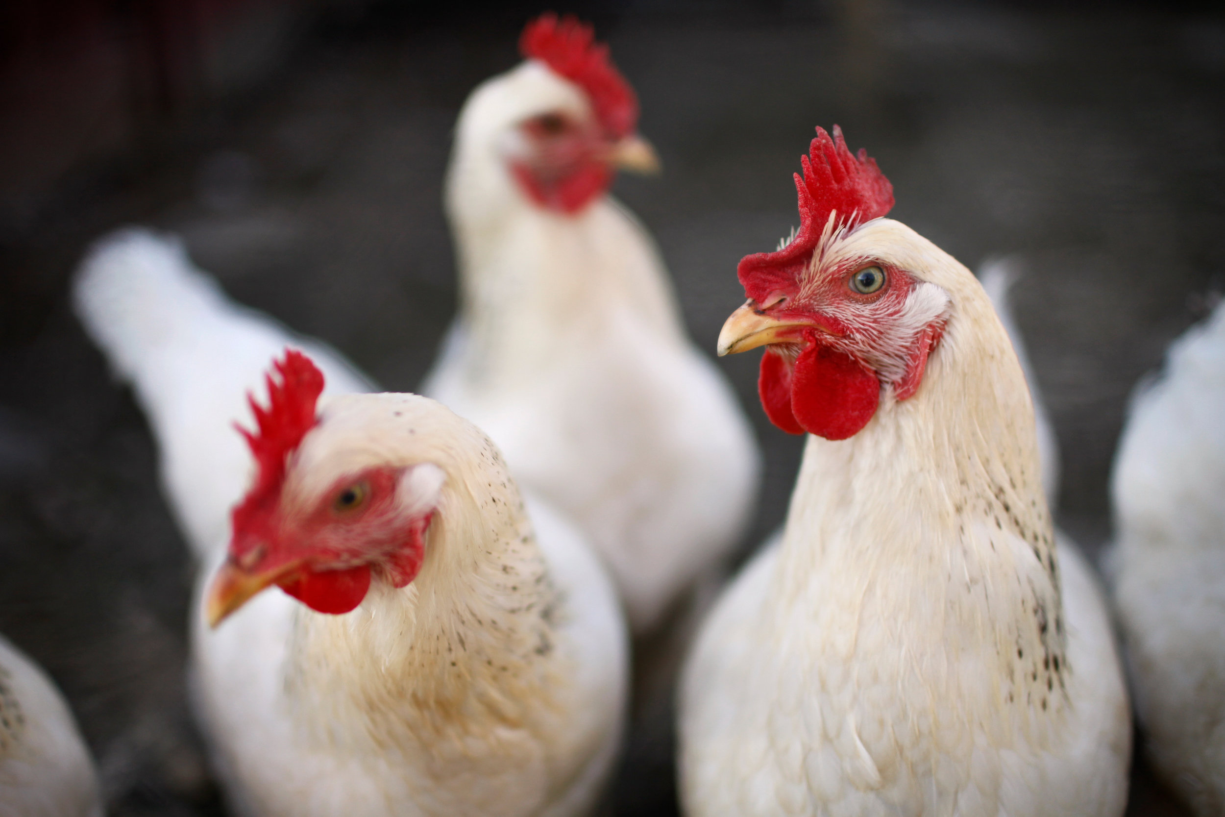 SquarespaceImage19-poultry-layinghens.jpg