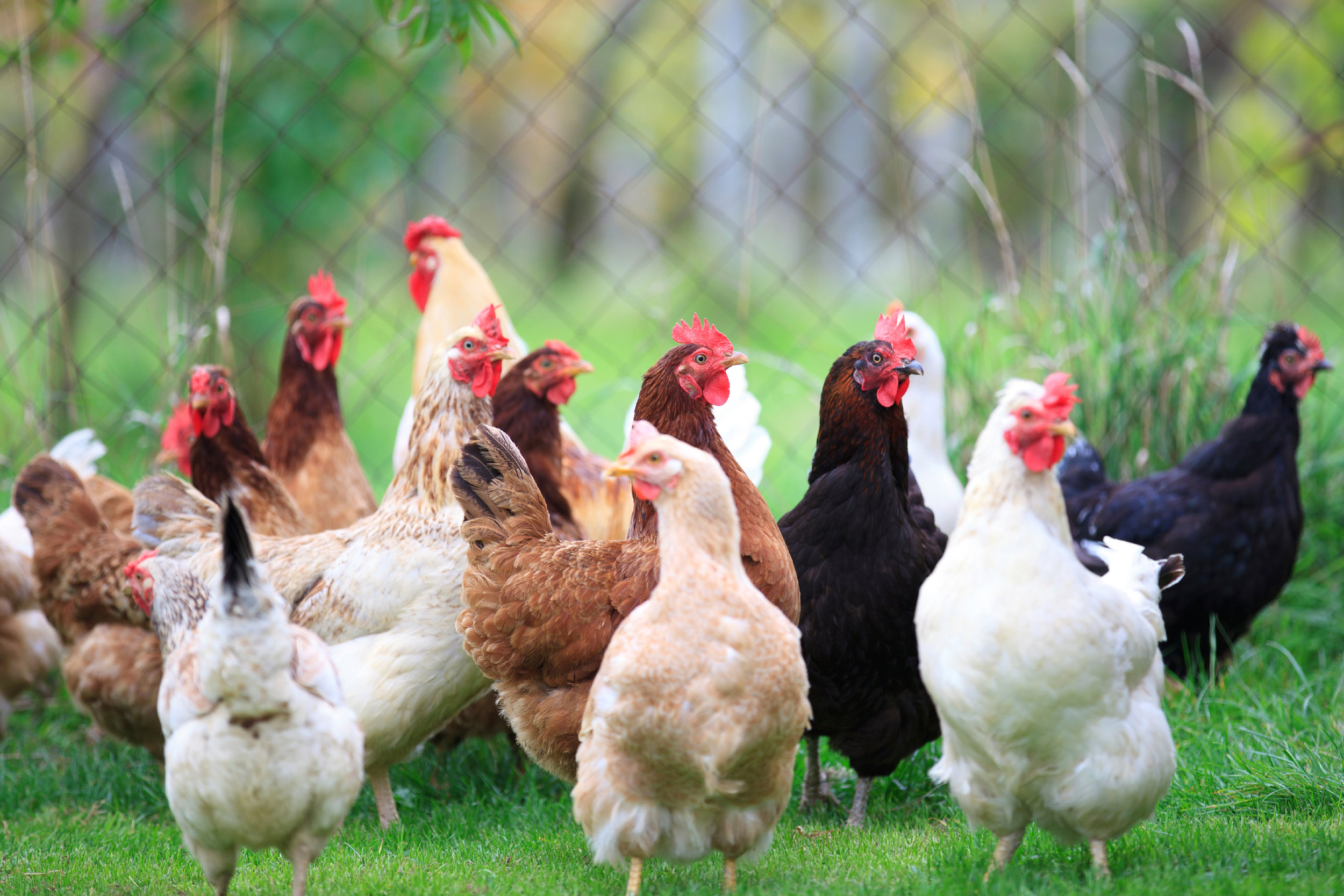 SquarespaceImage19-poultry-maturechickens.jpg