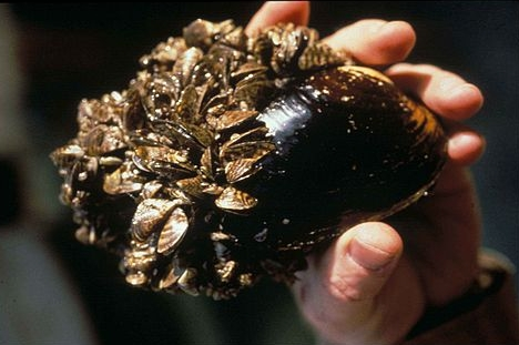 Invasive species Zebra Mussel's microscopic larvae can't be seen with the naked eye.