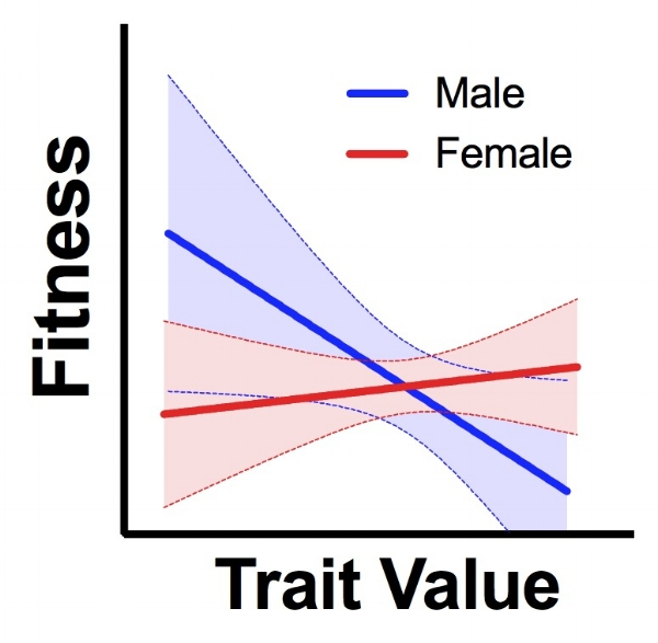 The relationship between a trait and fitness is often very different for males and females. Natural selection can pull the genome in different directions for each sex.