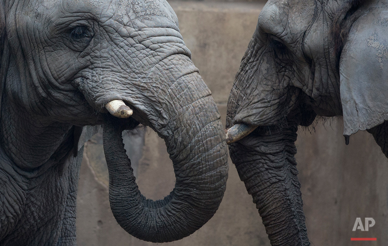 "Elephants from Africa named ""Pupi"" and ""Kuki"" walk inside the former Buenos Aires Zoo in Argentina, Friday, July 1, 2016. (AP Photo/Natacha Pisarenko"