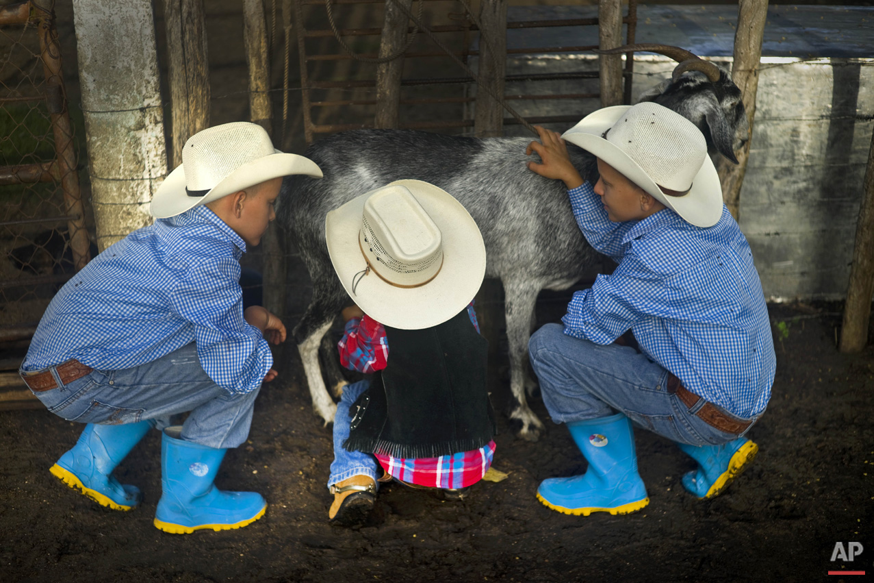 In this July 29, 2016 photo, young cowboys milk a goat at a farm in Sancti Spiritus, central Cuba. A group of neighboring cattle ranchers founded a non-governmental organization called Future Ranchers more than a decade ago to revive Cuba's rodeo culture, which dates back centuries to Spanish colonial times. The group teaches rodeo skills like roping and riding along with more practical education in ranching, veterinary medicine and farming. (AP Photo/Ramon Espinosa)