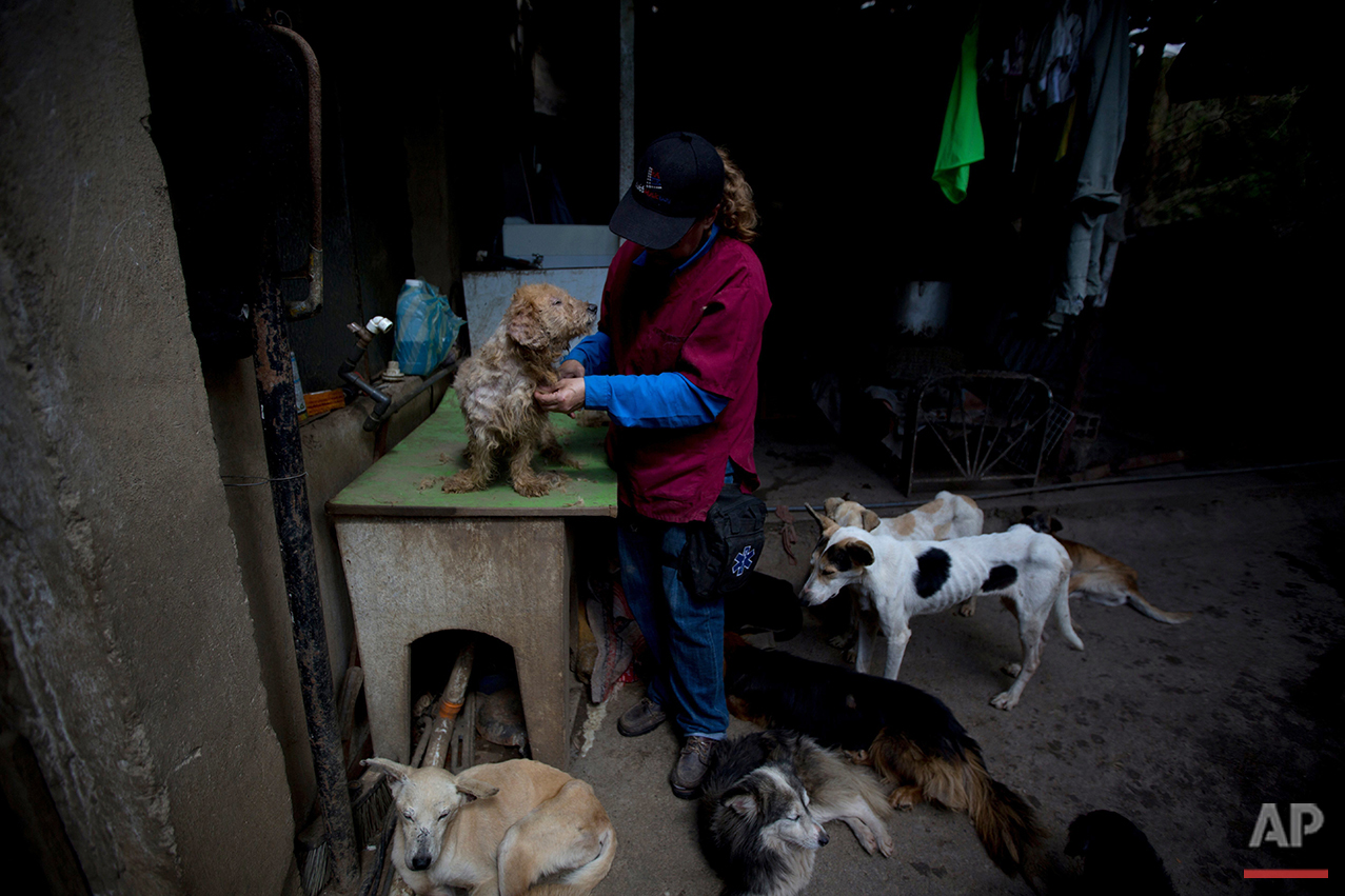 In this July 23, 2016 photo, Dexis Casadiego, a veterinarian and part owner of the Funasissi animal shelter, grooms an abandoned dog at the private shelter in the working-class Caracas neighborhood of El Junquito, Venezuela. In Caracas it has become common to see purebred dogs rummaging in the trash or lying outdoors, filthy and gaunt, in posh neighborhoods. (AP Photo/Fernando Llano) See these photos on  APImages.com