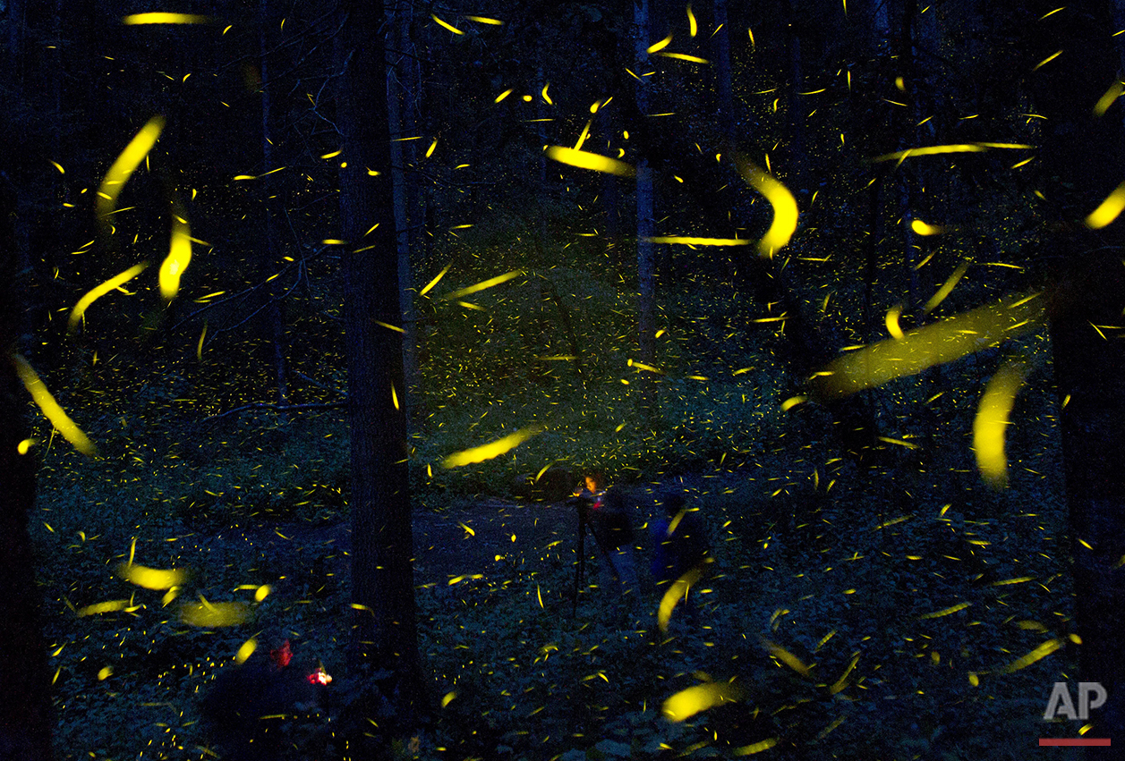 Fireflies seeking mates light up in synchronized bursts as photographers take long-exposure pictures, inside Piedra Canteada, a tourist camp cooperatively owned by 42 local families, inside an old-growth forest near the town of Nanacamilpa, Tlaxcala state, Mexico, July 21, 2016. The families purchased the 1560-acre (630-hectare) tract of land from a private owner in 1990 and began offering camping and forest visits, while continuing to exploit the logging quota authorized by the government. Only in 2011, did they realize the potential draw of the local firefly population, and begin advertising nighttime viewing tours. (AP Photo/Rebecca Blackwell)