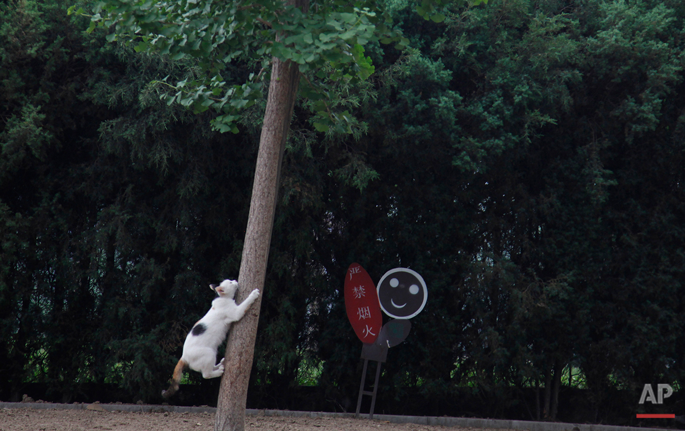 A cat attempts to climb a tree at a park in Beijing, China, Wednesday, June 15, 2011. (AP Photo/Ng Han Guan)