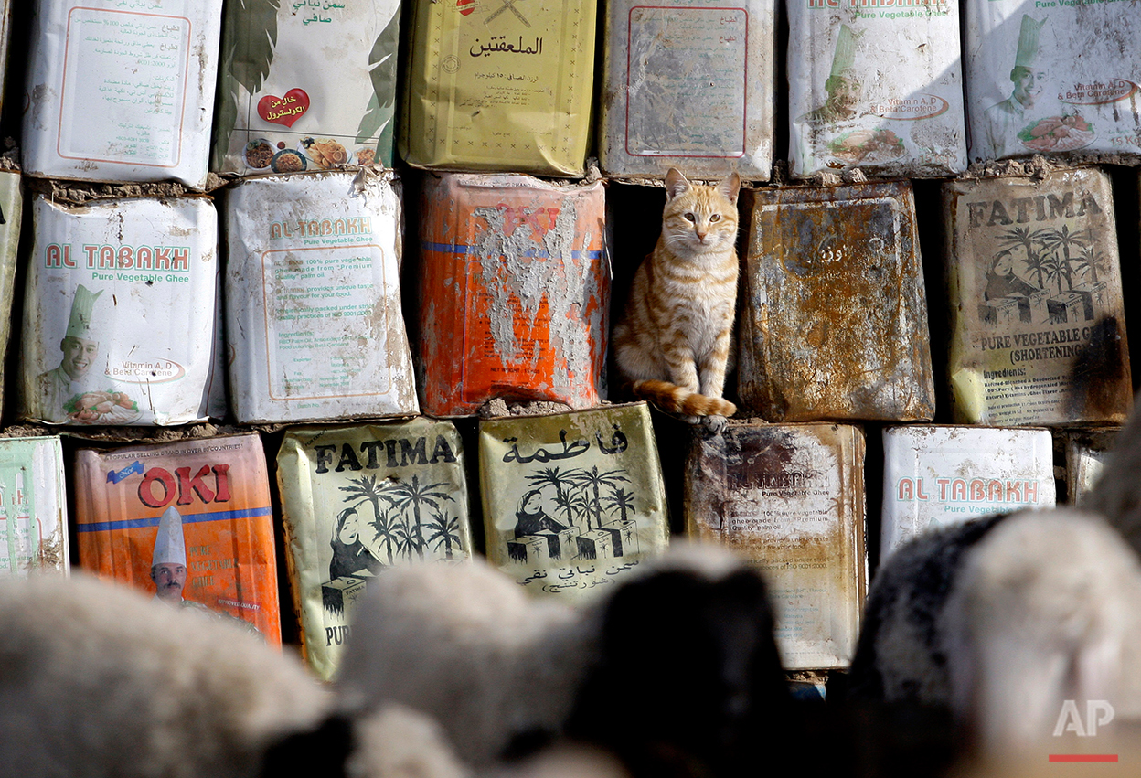 A cat looks at a herd of goats at a compound for the displaced in western Baghdad, Iraq, Tuesday, Jan. 4, 2011. An estimated 1.55 million people are currently displaced inside Iraq, according to the International Organization for Migration. (AP Photo/Hadi Mizban)