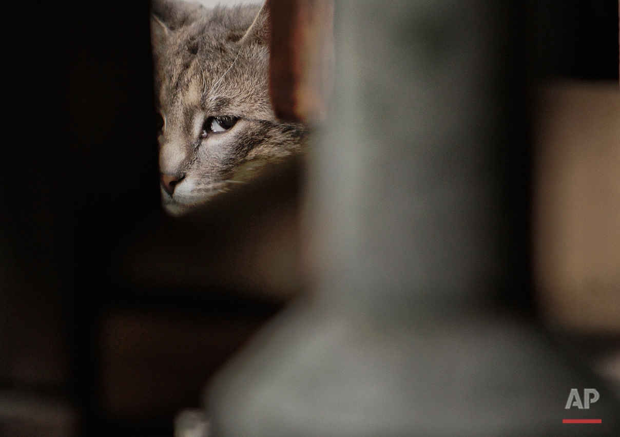 A cat looks on next to a restaurant in Belgrade, Serbia, Saturday, May 28, 2011.(AP Photo/Vadim Ghirda)