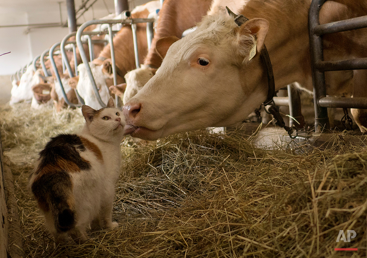 Missy, the stable cat, is licked by a diary cow during feeding time at Madersbacherhof Farm in Brixlegg, in the Austrian Alps, Wednesday, March 18, 2015. The cat lives in the stable with the diary cows who are kept inside for the duration of winter. (AP Photo/Rob Taggart)