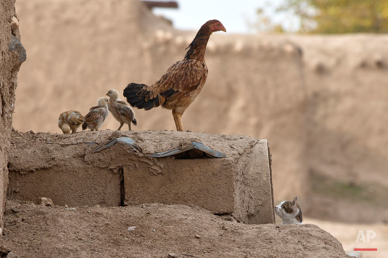 A cat looks at a chicken and its chicks,  in Caykara, on the Turkey-Syria border, across from the Syrian city of Kobani, Thursday, Nov. 20, 2014. (AP Photo/Vadim Ghirda)