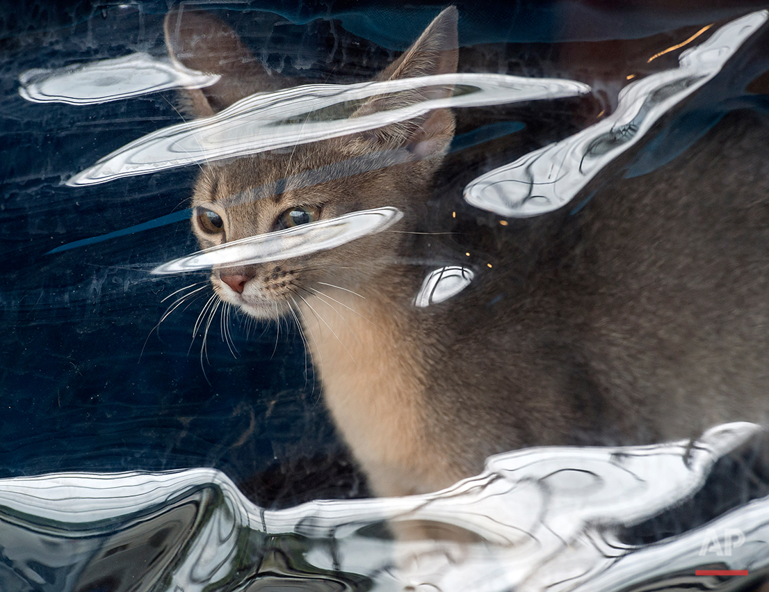 Abyssinian cat 'Nara von der Loreley' looks through a transparent foil prior to the competition during the International pedigree dog and purebred cat exhibition in Erfurt, Germany, Saturday, June 20, 2015. Dogs and cats from 21 countries take part at the exhibition and the different competitions. (AP Photo/Jens Meyer)