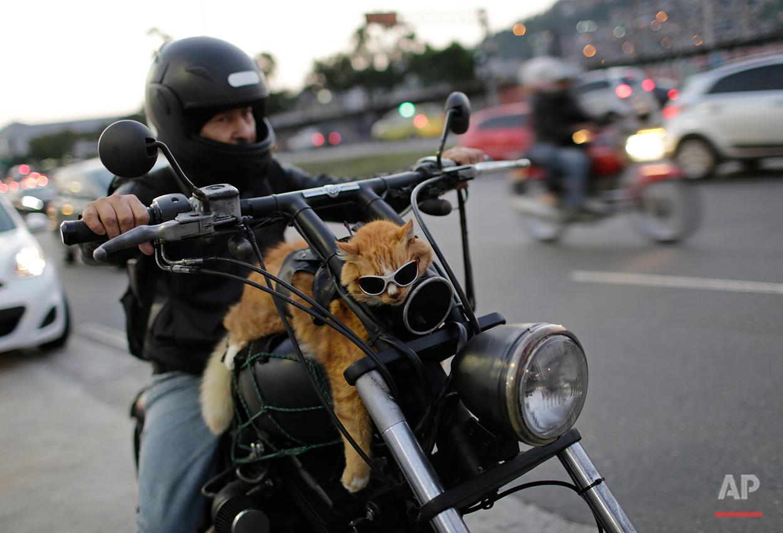 A motorcycle rider carries his cat Chiquinho on his bike, near Maracana stadium, in Rio de Janeiro, Brazil, Sunday, June 19, 2016. (AP Photo/Silvia Izquierdo)