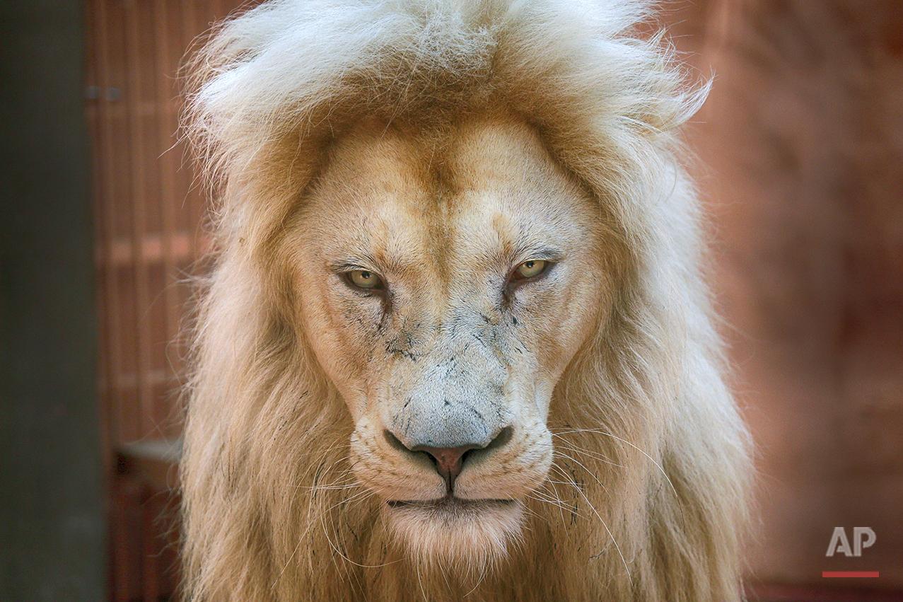 Ukraine White Lion