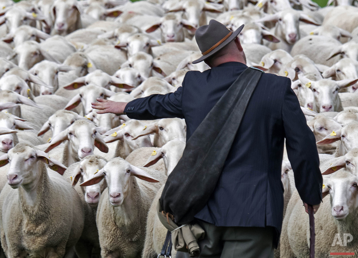 Shepherd Christian Frebel manages a herd of sheep during the Shepherds' Championships of Thuringia in Hohenfelden, central Germany, on Saturday, Aug. 6, 2016. (AP Photo/Jens Meyer)