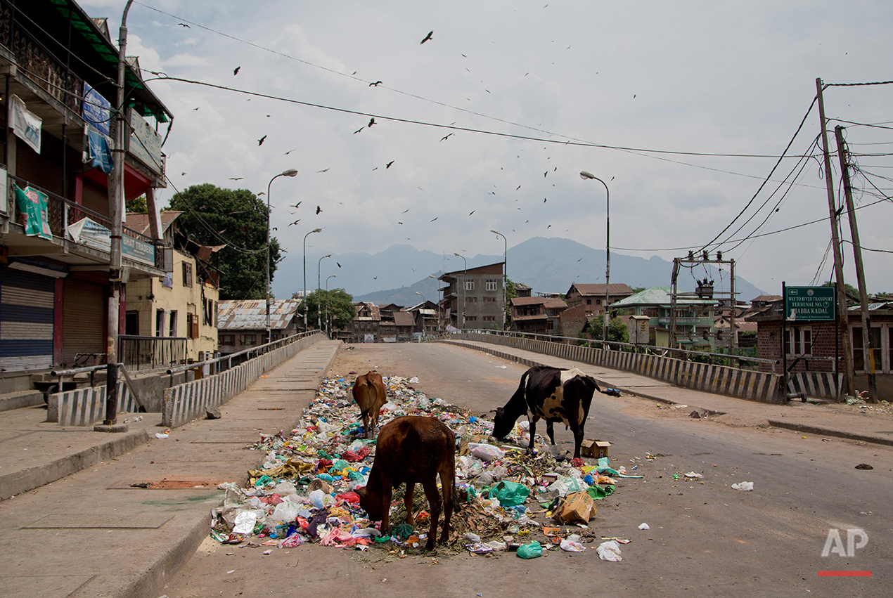 Cows feed from a pile of garbage that has been lying unattended to on a road during the ninth straight day of curfew in Srinagar, Indian controlled Kashmir, Sunday, July 17, 2016. The region's largest street protests in recent years erupted last week after Indian troops killed Burhan Wani, the popular young leader of the largest rebel group fighting against Indian rule in Kashmir.(AP Photo/Dar Yasin)