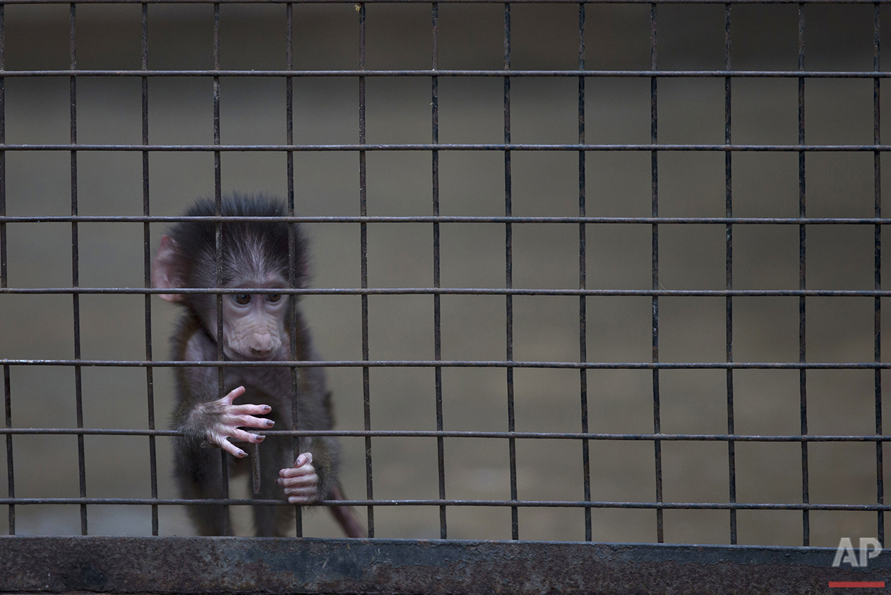 A baby monkey stands inside a cage at the former Buenos Aires Zoo in Argentina, Friday, July 1, 2016. The city government announced a week earlier it will transform the city's zoo into an ecological park for a limited number of species, and begin with the transfer of birds of prey to natural reserves. Their plan to also transform the site into a conservation and research facility will take years while veterinarians decide which animals can be transferred to reserves, locally and abroad. Those who stay at the ecological park will live in what officials describe as much better conditions. (AP Photo/Natacha Pisarenko)
