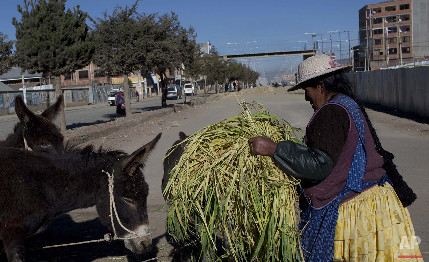 In this May 23, 2016 photo, donkey milk vendor Petrona Yugra brings her donkeys oats as she works to sell their milk to passing clients in El Alto, Bolivia.  (AP Photo/Juan Karita)