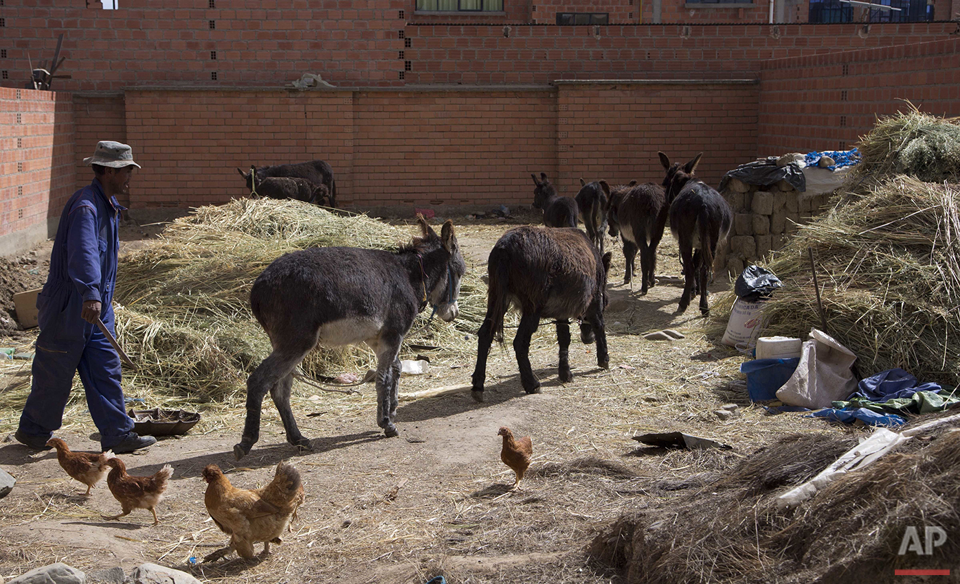In this June 8, 2016 photo, a man walks his donkeys home after selling their milk to clients in the streets of El Alto, Bolivia. People stop on their walk to work, drink a glass of fresh donkey milk, believing it will fight respiratory problems during the raw winter of the Bolivian Andes. (AP Photo/Juan Karita)