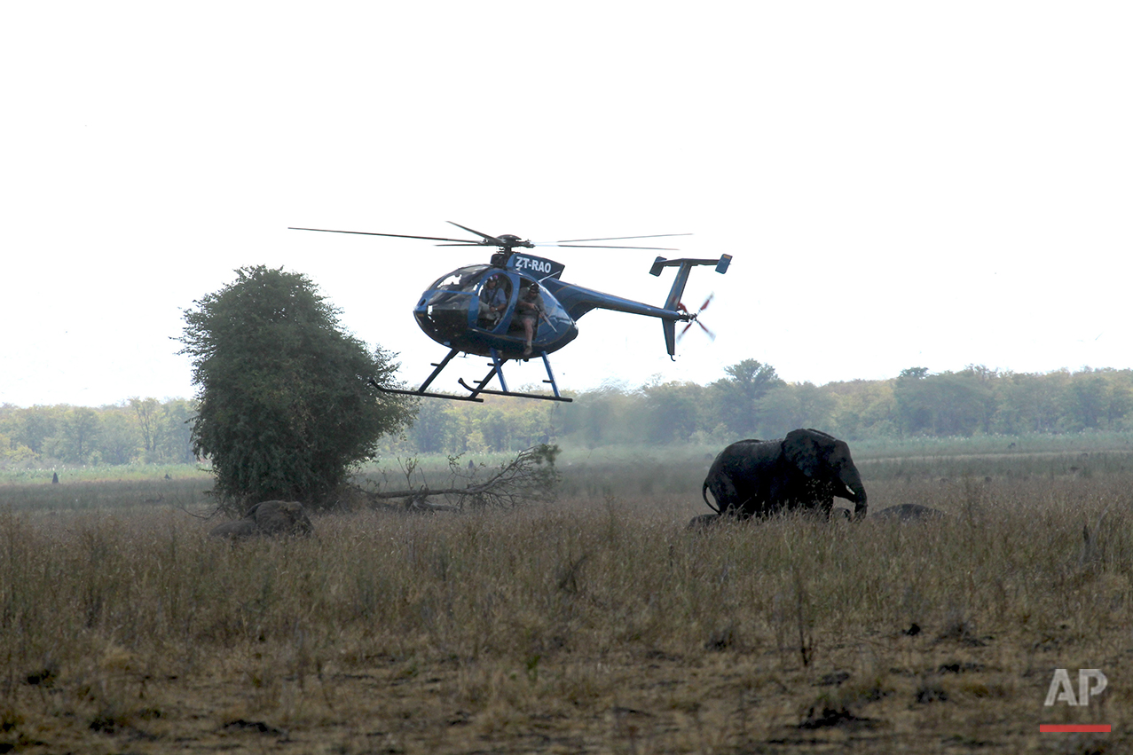 In this Tuesday July 12, 2016 photo, an elephant is shot with a dart from a helicopter in Lilongwe, Malawi, in the first step of an assisted migration of 500 of the threatened species. African Parks, which manages three Malawian reserves is moving the 500 elephants from Liwonde National Park, this month and next, and again next year when vehicles can maneuver on the rugged terrain during Southern Africa's dry winter. (AP Photo/Tsvangirayi Mukwazhi)