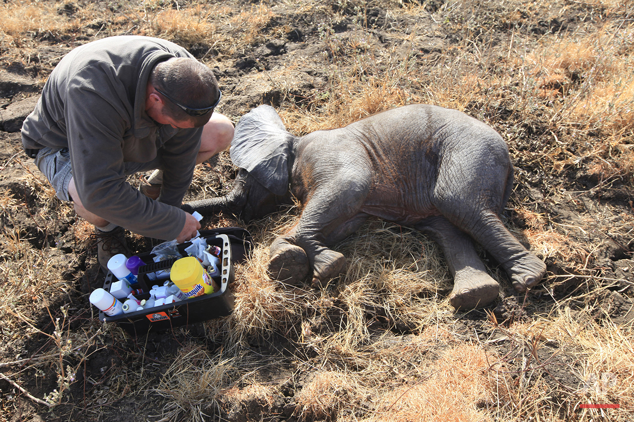In this Tuesday July 12, 2016 photo, a veterinarian checks the health of a baby elephant in Lilongwe, Malawi, after being immobilized by darts fired from a helicopter, in the first step of an assisted migration of 500 of the threatened species. African Parks, which manages three Malawian reserves is moving the 500 elephants from Liwonde National Park, this month and next, and again next year when vehicles can maneuver on the rugged terrain during Southern Africa's dry winter. (AP Photo/Tsvangirayi Mukwazhi)