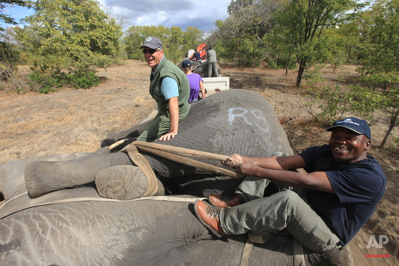 In this Tuesday July 12, 2016 photo, elephants are tied ready for transportation, in Lilongwe, Malawi, in the first step of an assisted migration of 500 of the threatened species. African Parks, which manages three Malawian reserves is moving the 500 elephants from Liwonde National Park, this month and next, and again next year when vehicles can maneuver on the rugged terrain during Southern Africa's dry winter. (AP Photo/Tsvangirayi Mukwazhi)