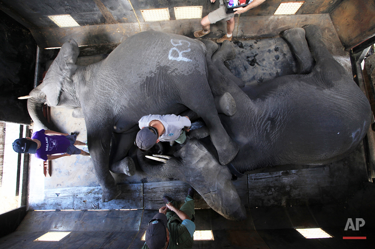 In this Tuesday July 12, 2016 photo, elephants lay immobilzed in a truck in Lilongwe, Malawi, in the first step of an assisted migration of 500 of the threatened species. African Parks, which manages three Malawian reserves is moving the 500 elephants from Liwonde National Park, this month and next, and again next year when vehicles can maneuver on the rugged terrain during Southern Africa's dry winter. (AP Photo/Tsvangirayi Mukwazhi)