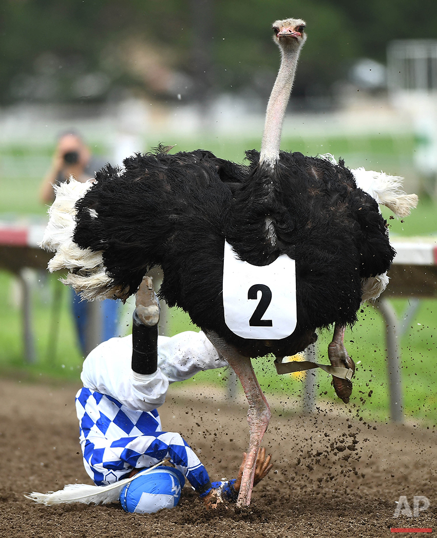 """Jockey Jose Montoya falls from BrEGGxit the ostrich close to the finish line during """"Extreme Race Day"""" at Canterbury Park on Saturday, July 16, 2016, in Shakopee, Minn. The track featured ostrich, zebra and camel racing, as well as horse racing. (Aaron Lavinsky/Star Tribune via AP)"""