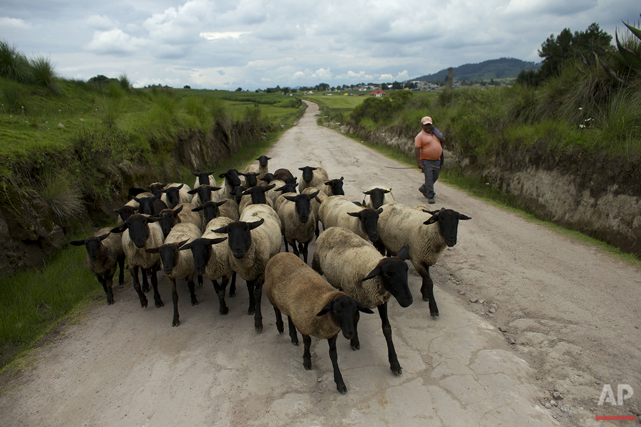 In this July 21, 2016 photo, a farmer walks a herd of sheep along the road leading from San Felipe Hidalgo toward the fireflies' forest habitat, near Nanacamilpa, Tlaxcala state, Mexico. Thousands of tourists traverse the area's unpaved roads each weekend during the season, paying between 100 and 200 pesos ($5-$10) for a one-hour walk amidst thousands of fireflies.(AP Photo/Rebecca Blackwell)