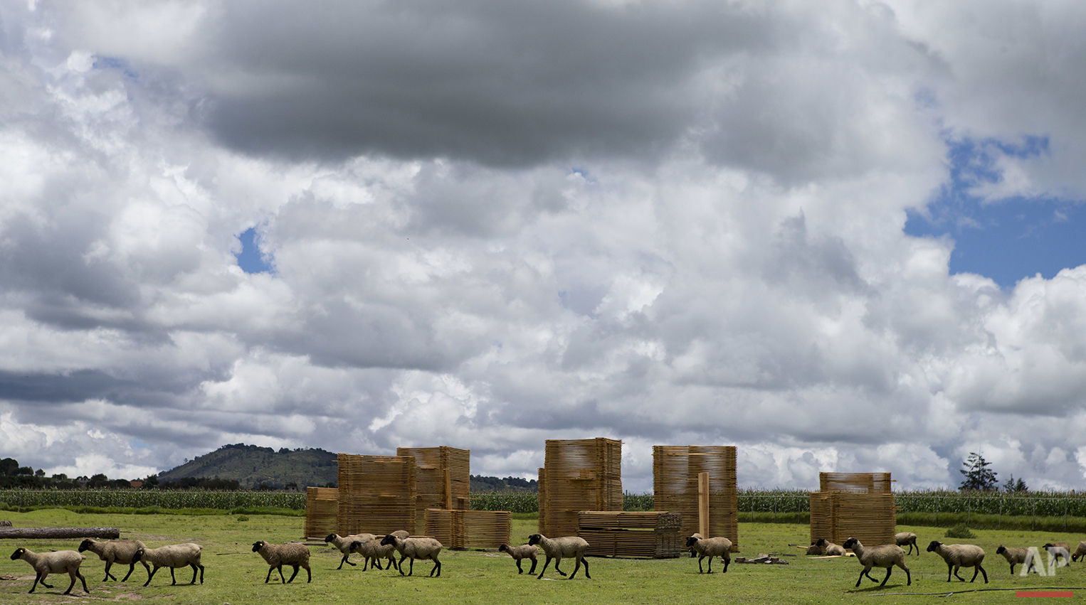 In this July 22, 2016 photo, sheep walk past stacks of finished lumber, at a sawmill belonging to Piedra Canteada, outside Nanacamilpa, Tlaxcala state, Mexico. The families who own the forest that includes Piedra Canteada have been exploiting their government permitted cuota of lumber for decades. But in the five years since they began advertising firefly tours, their tourist income from the two month season has surpassed what they can make from a year of logging. The income is also more reliable, since the national forest service can halt logging for years at a time if blight or dry weather is hindering growth. (AP Photo/Rebecca Blackwell)