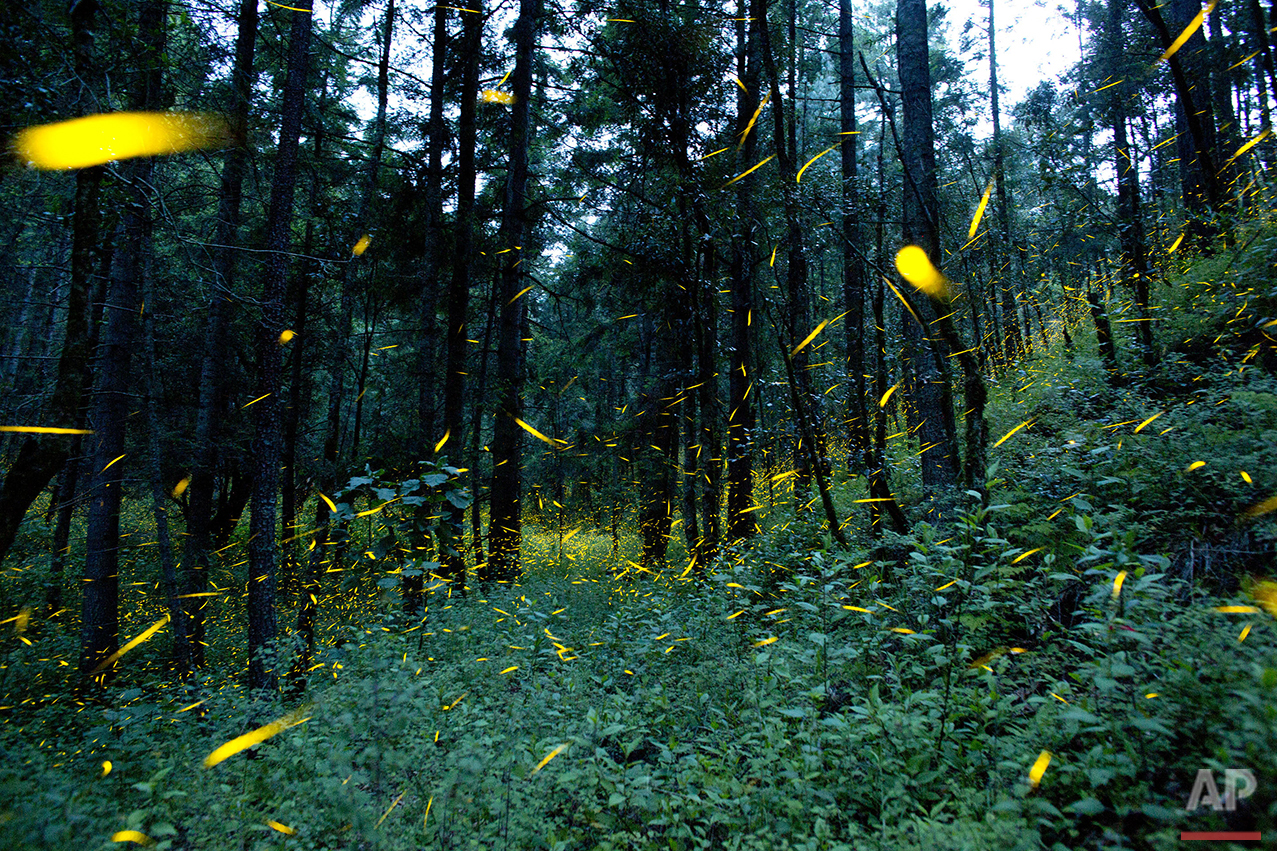 In this July 21, 2016 photo, fireflies light up in sync in the woods of Piedra Canteada, near Nanacamilpa, Tlaxcala state, Mexico. The income from tourism is providing a new incentive to residents to focus on conservation rather than deforestation. In addition, Mexico's forest service is supporting the replanting of hundreds of thousands of trees in the area, and Piedra Canteada's Rueda Lopez said they have plans to plant over 50 thousand pine trees in the areas that they log each year. (AP Photo/Rebecca Blackwell)