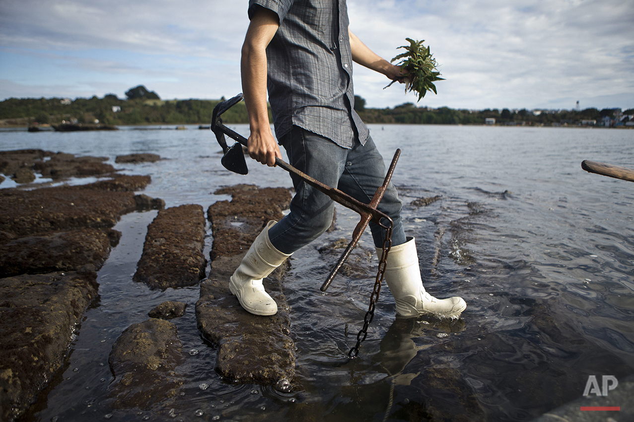 "In this May 10, 2016 photo, Marco Cifuentes carries his boat anchor and a medicinal plant called ""matico"" for his mother, as he walks in the waters at the edge of the fishing village Quetalmahue, in Chile's Chiloe island. Cifuentes' mother said she mixes the medicinal plant with mate to calm her nerves which she says has caused them to frazzle because of the ""red tide"" environmental crisis. (AP Photo/Esteban Felix)"
