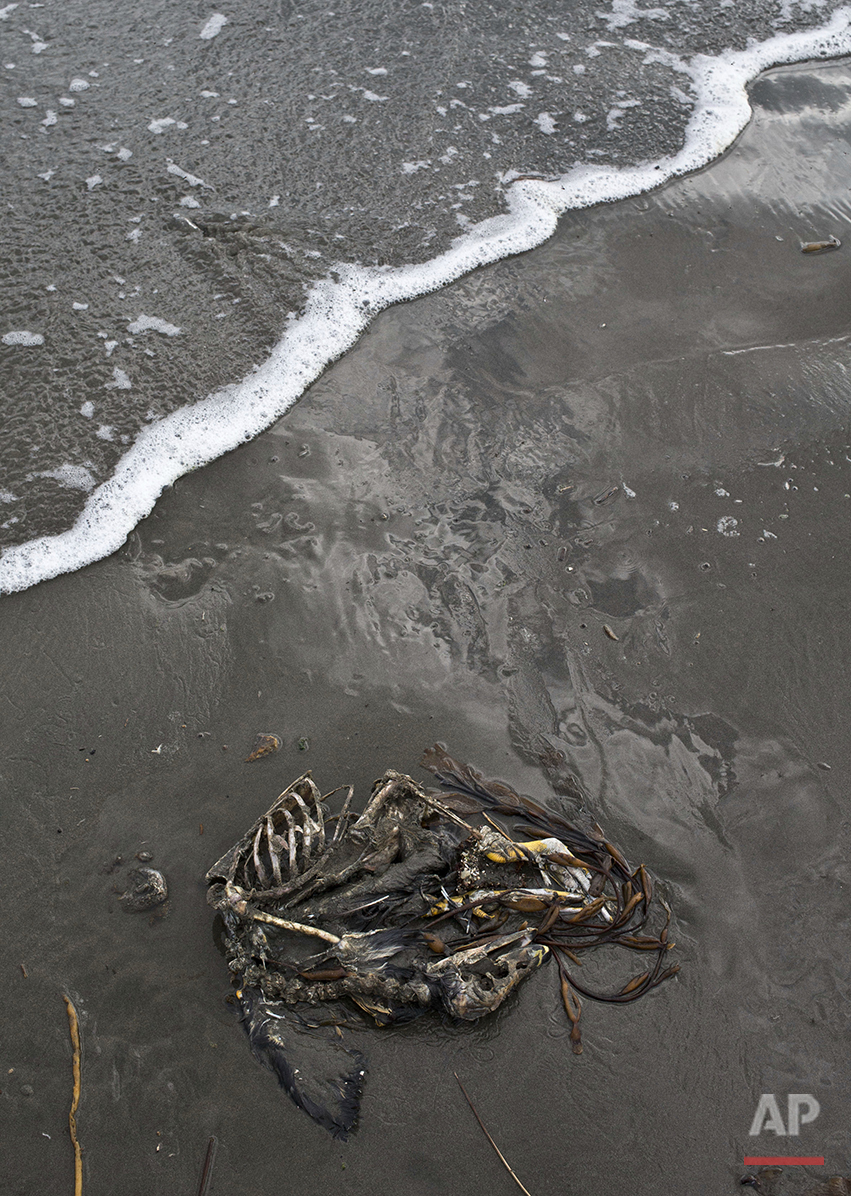 "In this May 7, 2016 photo, the carcass of a seabird lies on the shore of Mar Brava, in Ancud, Chile's Chiloe Island. The government has declared an emergency zone along Chile's south and in Chiloe as it deals with the country's worst ever ""red tide,"" which can be lethal to fish and other marine forms with a toxin that paralyzes the central nervous system. Consumption of shellfish from red tide areas can poison humans as well. (AP Photo/Esteban Felix)"