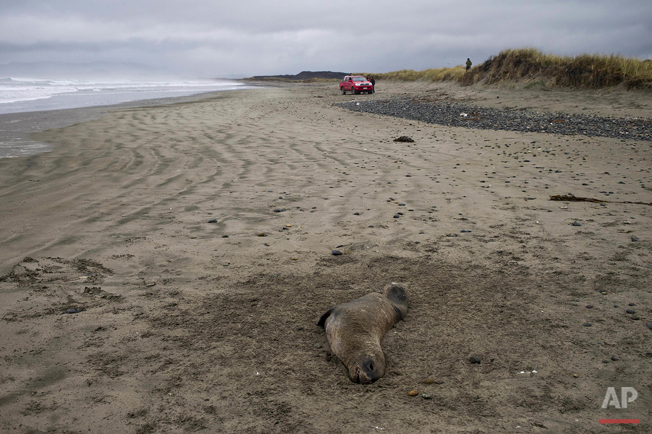 "In this May 8, 2016 photo a dead sea lion lies on the shore of Mar Brava, in Ancud in Chile's Chiloe Island, during the country's worst ever ""red tide"" environmental disaster. Chiloe is best-known for its wildlife, stilt homes and preserved churches. But today, it is also known for what fishermen here call a ""quiet catastrophe"" due to a toxic algal bloom threatening the livelihood of many in this archipelago in the Pacific Ocean. (AP Photo/Esteban Felix)"