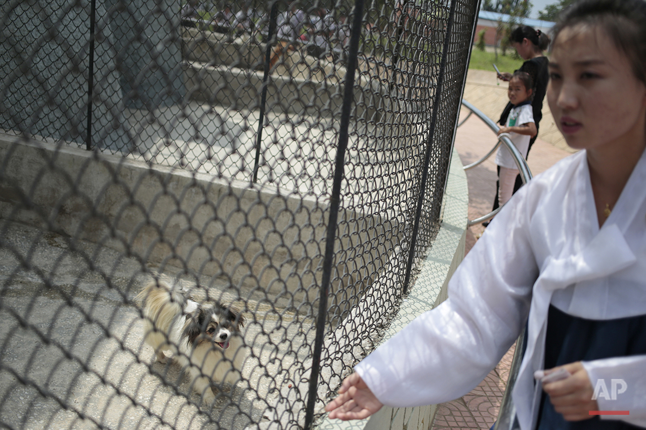 A dog is kept at a pen at the newly opened Central Zoo in Pyongyang, North Korea, Tuesday, Aug. 23, 2016. One of the most popular attractions at the zoo might come as a surprise to foreign visitors. Just across the way from the hippopotamus pen and the reptile house, dozens of varieties of dogs, including schnauzers, German shepherds, Shih Tzus and Saint Bernards _ are on display in the 'dog pavilion.' (AP Photo/Dita Alangkara)