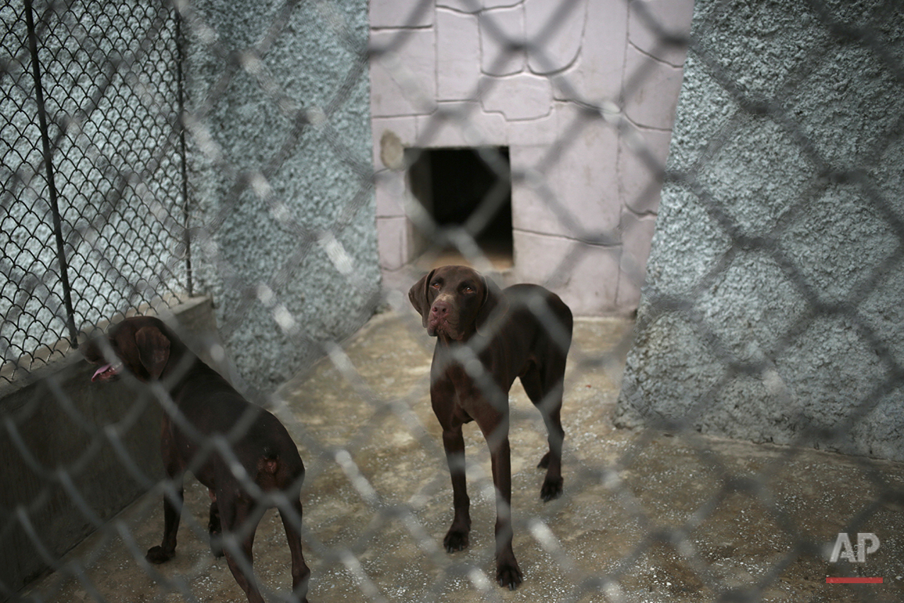 Dogs look out from inside a pen at the newly opened Pyongyang Central Zoo in Pyongyang, North Korea, Tuesday, Aug. 23, 2016. One of the most popular attractions at the zoo might come as a surprise to foreign visitors. Just across the way from the hippopotamus pen and the reptile house, dozens of varieties of dogs, including schnauzers, German shepherds, Shih Tzus and Saint Bernards, are on display in the 'dog pavilion.' (AP Photo/Dita Alangkara)
