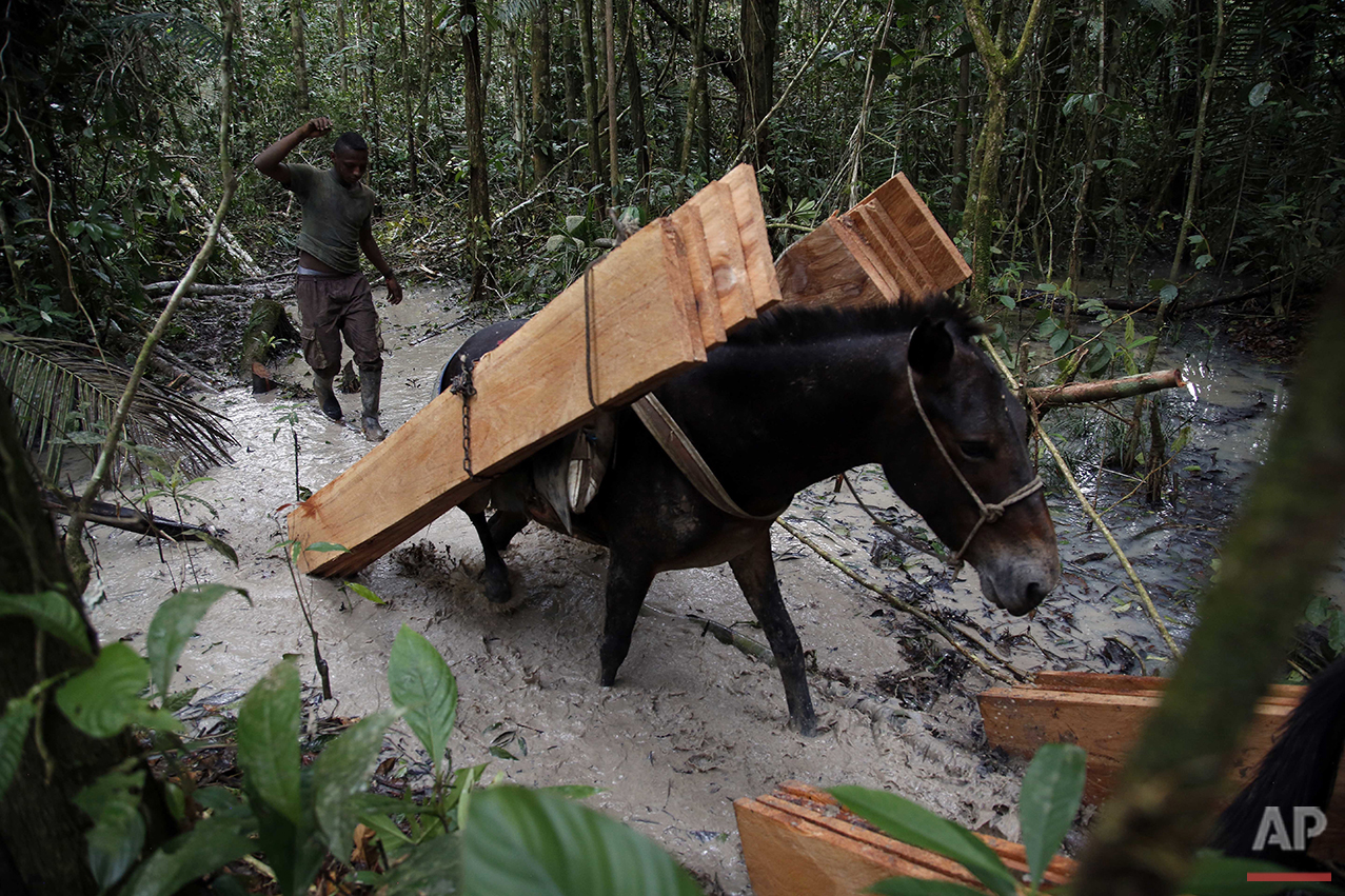 In this Aug. 11, 2016 photo, a rebel of the 48th Front of the Revolutionary Armed Forces of Colombia follows a mule hauling wood planks to a nearby encampment in the southern jungles of Putumayo, Colombia. The planks will be used to construct a classroom in the camp. (AP Photo/Fernando Vergara)