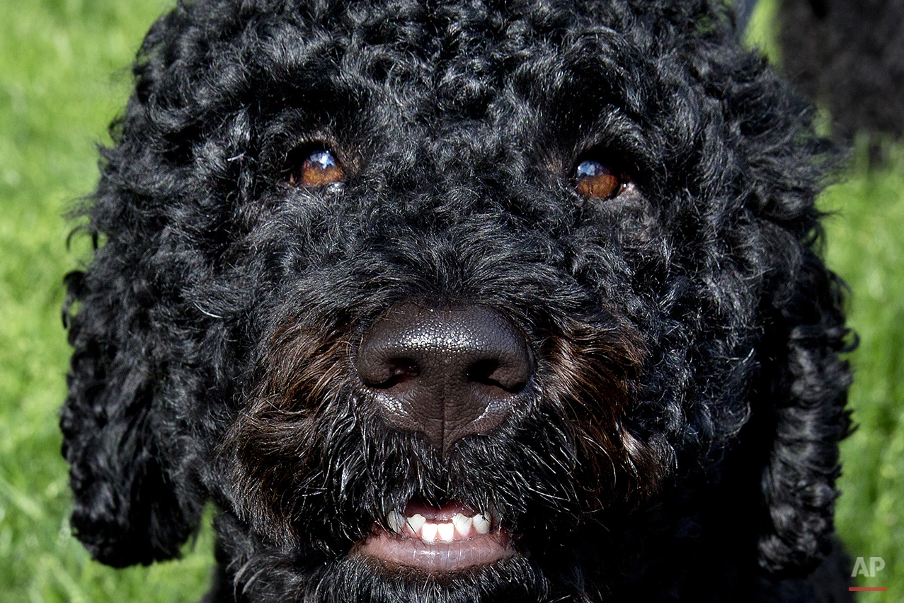 Sunny, one of the two Presidential dogs, looks up while being walked on the South Lawn of the White House on Saturday, May 17, 2014. The Portuguese water dogs, Sunny and Bo, are the Obama family pets. (AP Photo/Jacquelyn Martin)