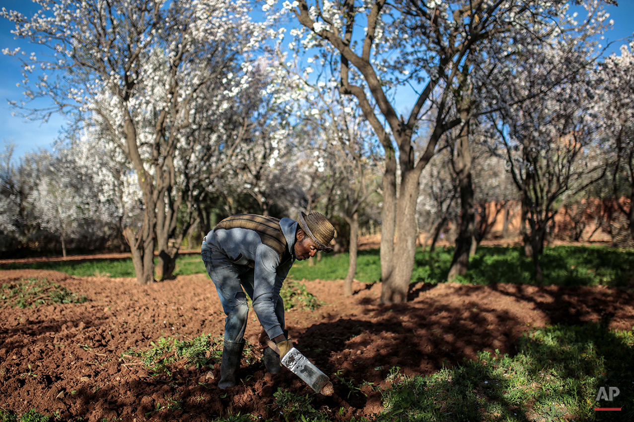 In this Tuesday, Feb. 2, 2016 photo, Amazigh villager Mohammed Tamejout, 26, works in his farm, in the town of Kasbah Ellouze, near Ouarzazate, Morocco. That isolation has dashed  Tamejout's hopes of finding a job away from home. He studied geography at the university in the Atlas city of Ouarzazate, expecting the degree would lead to a job. But three years after graduating, he remains unemployed and works on his family's farm in Imilchil, surrounded by almond trees. (AP Photo/Mosa'ab Elshamy)