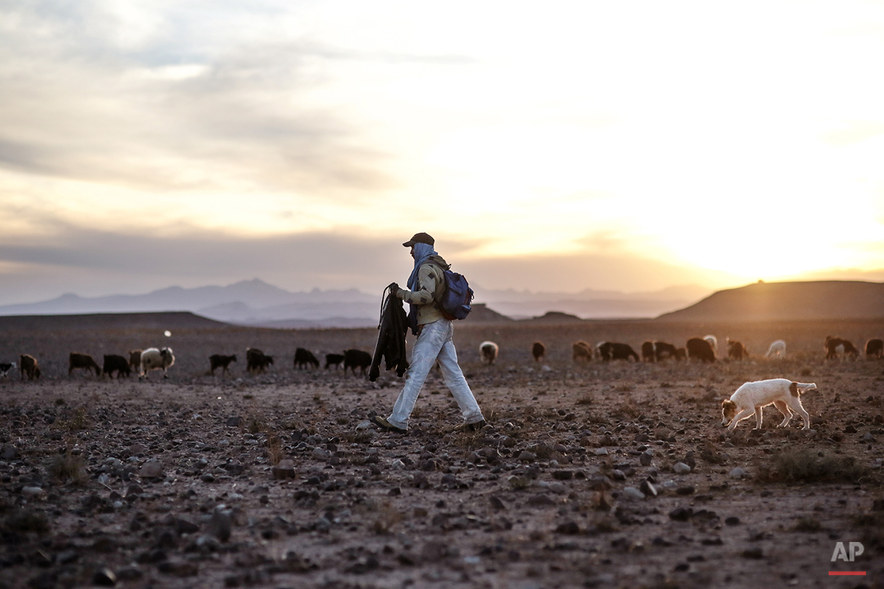 """In this Tuesday, Feb. 2, 2016 photo, a shepherd watches over his cattle in the desert of the High Atlas mountains, next to Ouarzazate, central Morocco. Indomitable and proud, they call themselves the Amazigh, which is believed to mean """"free people"""" or """"noble men,"""" and trace their origins as an indigenous people in western North Africa to at least 10,000 B.C. (AP Photo/Mosa'ab Elshamy)"""